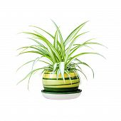 Chlorophytum Comosum (also Known Spider Plant) In A Pot Isolated On White Background With Clipping P poster