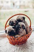 Pug Dog Puppies Sitting In Basket. Little Puppies Having Fun. Breeding Dogs poster