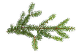 picture of pine-needle  - pine branch on white background - JPG