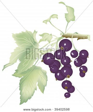 vector black currant