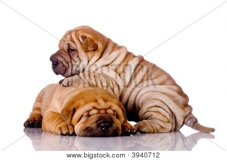 Two Shar Pei Baby Dogs