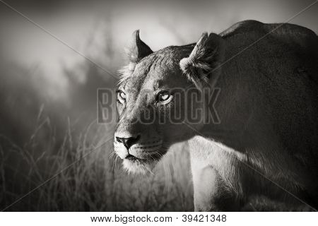 Lioness stalking - Kalahari desert (Artistic processing)