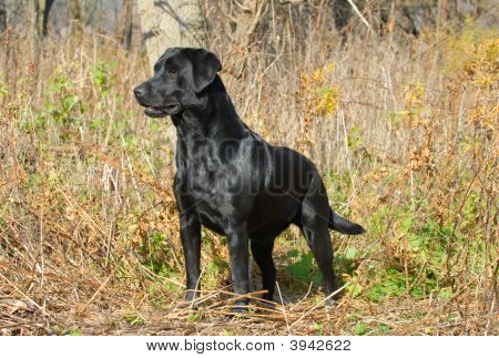 Black Labrador Retriever In Autumn Brush