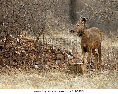 Axis deer (Axis axis) in Ranthambore National Park, India, Asia