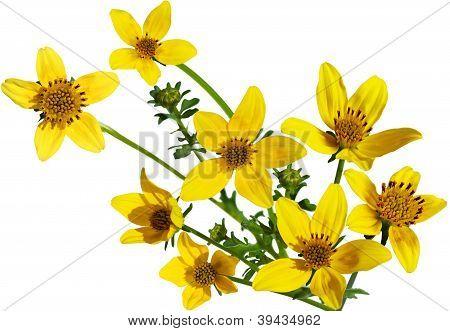Goldfield Flower