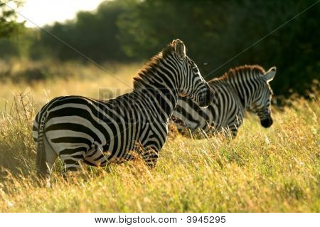 Img_3044Asplains Zebra