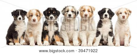 Front view of group of seven Australian Shepherd puppies sitting and looking at camera against white background