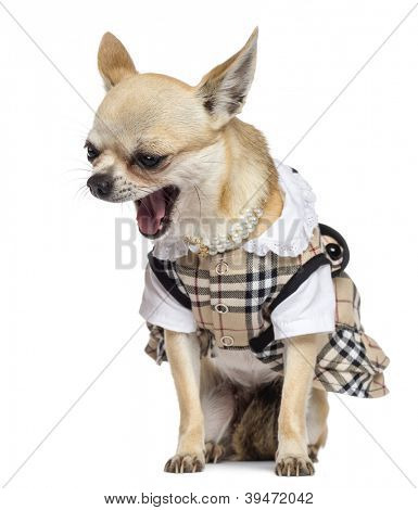 Chihuahua sitting, dressed and yawning against white background