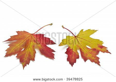 Two autumn maple leaves on white background