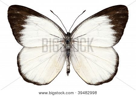 Butterfly Species Delias Belisama