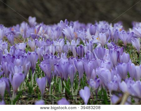 Crocus spring flowers in a field over black