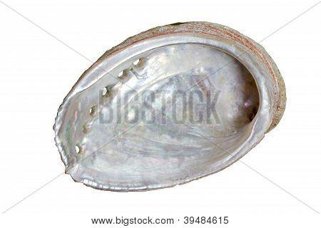 Ormer (Abalone) Haliotis tuberculata