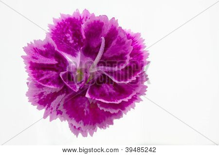 Dianthus barbatus garden flower