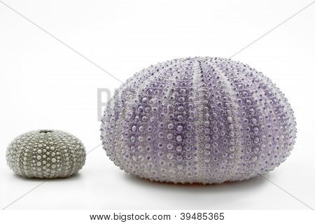 Sea urchin shells isolated on white background