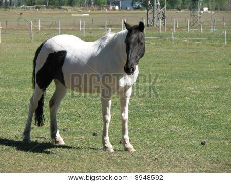Piebald Horse Standing