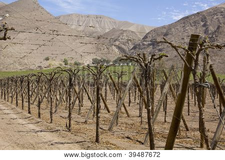 Vineyard Cultivation