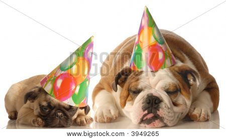 Bulldog And Pug With Birthday Hat