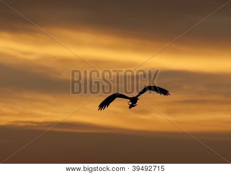 Large Hunting Osprey Bird In Flight At Sunset