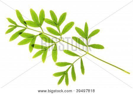 Sermountain (Laserpitium siler)