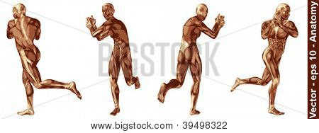 Vector concept or conceptual human or man 3D anatomy body with muscle isolated on white background a metaphor to medicine,sport,male ,muscular,medical,health,biology or fitness group,collection or set