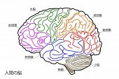 picture of temporal lobe  - The Human Brain Structure in Japanese Anatomy Medical Concept Hand drawn design - JPG