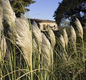 stock photo of pampas grass  - Photos of white pampas grass in tuscany - JPG