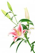picture of asiatic lily  - bouquet of beautiful scented lilies isolated on white - JPG
