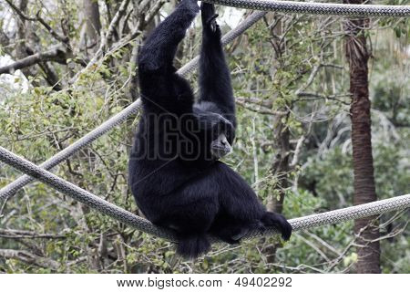 Siamang At Audubon Zoo