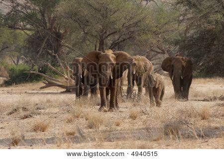 Elefantes del desierto
