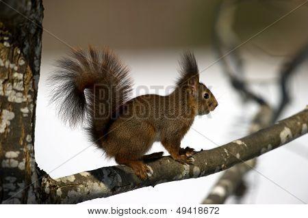 The Red Squirrel (Sciurus vulgaris) In The Oak