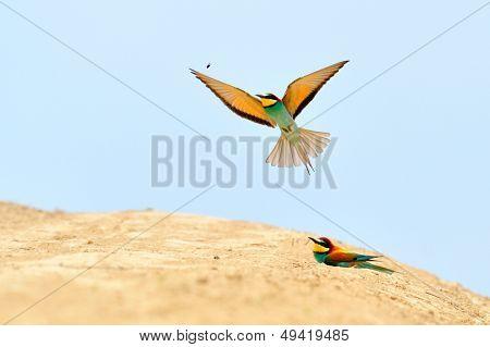 european bee-eaters (Merops Apiaster) outdoor