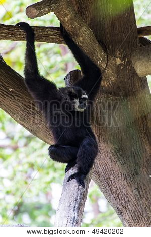 Gibbon In Chiangmai Zoo , Thailand