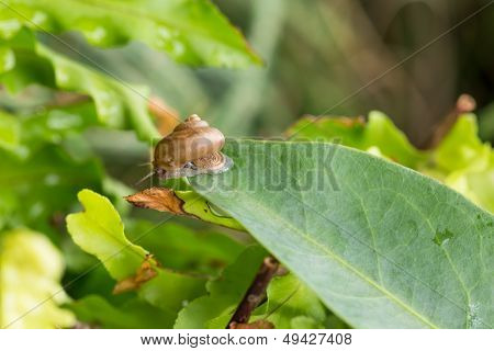 Garden Snail With Operculum Is On The Tip Of Leaf