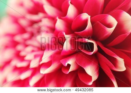 Abstract Petals Of Pink Dahlia Bloom  Closeup(macro)
