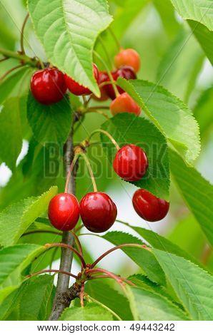 Cherries on plant