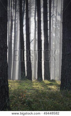 Autumn Mist In Forest