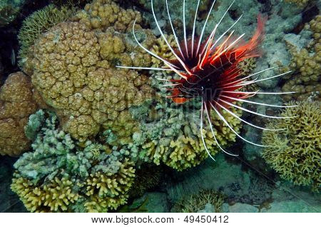 tropical fish in the water (clearfin lionfish - pterois radiata)