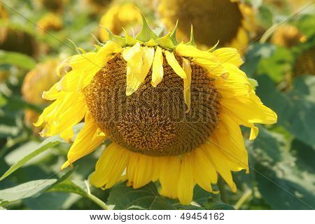 Head of a Sunflower