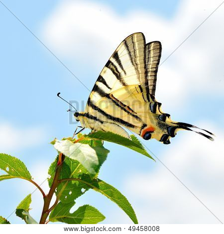 butterfly in natural habitat (scarce swallowtail)