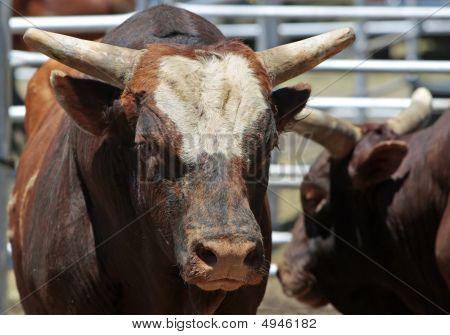 Big Bad Bulls