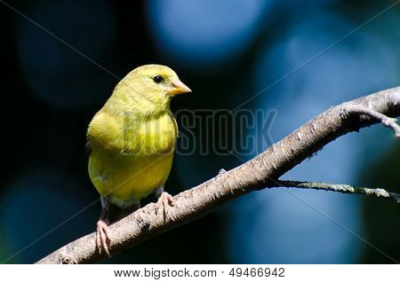 Female American Goldfinch Against A Blue Background
