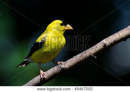 American Goldfinch Against A Green Background