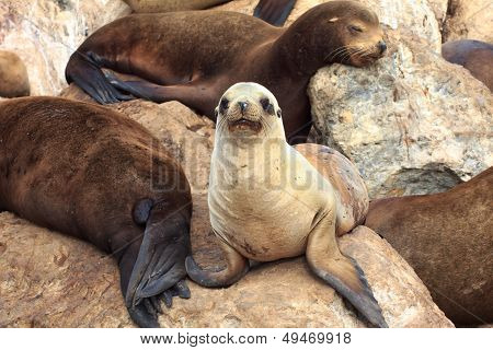 California Sea Lions At Monterey Bay
