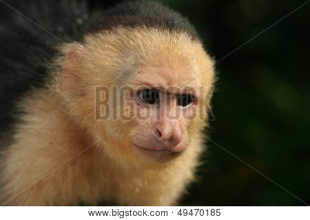 White-faced Capuchin monkey Costa Rica
