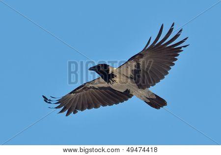 crow flying (corvus frugilegus)