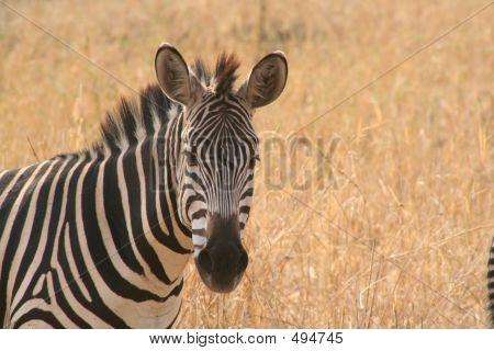 Zebra, Africa