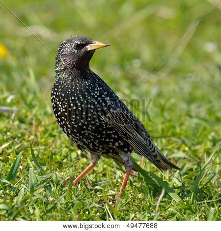 colorful starling bird outdoor (sturnus vulgaris)