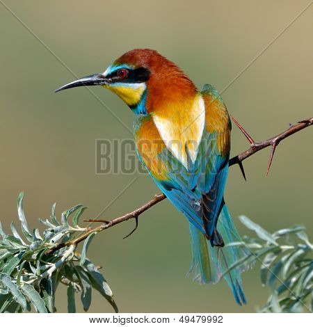 european bee-eater (Merops Apiaster) outdoor