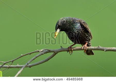 colorful starling bird on the branch (sturnus vulgaris)