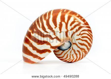 concha de Nautilus, isolada no fundo branco